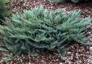 Blue Chip Juniper Amp Kearney Missouri Marshall Trees And