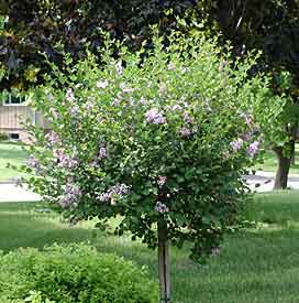 Dwarf Korean Tree Lilac