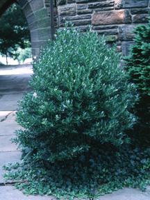 Inkberry Holly Amp Kearney Missouri Marshall Trees And