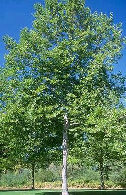 London Planetree Amp Kearney Missouri Marshall Trees And