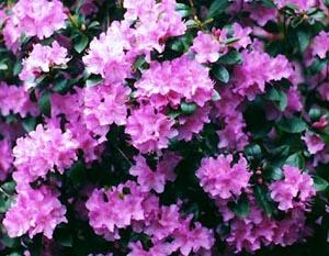 Pjm Rhododendron Amp Kearney Missouri Marshall Trees And